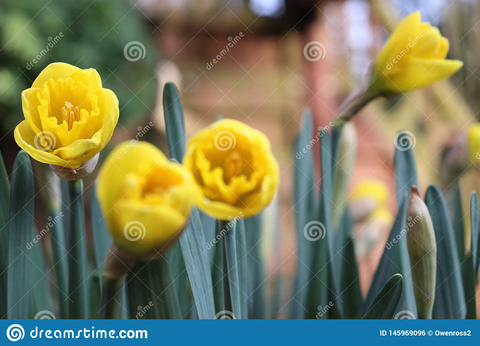 Yellow tulip with green leaves in the background