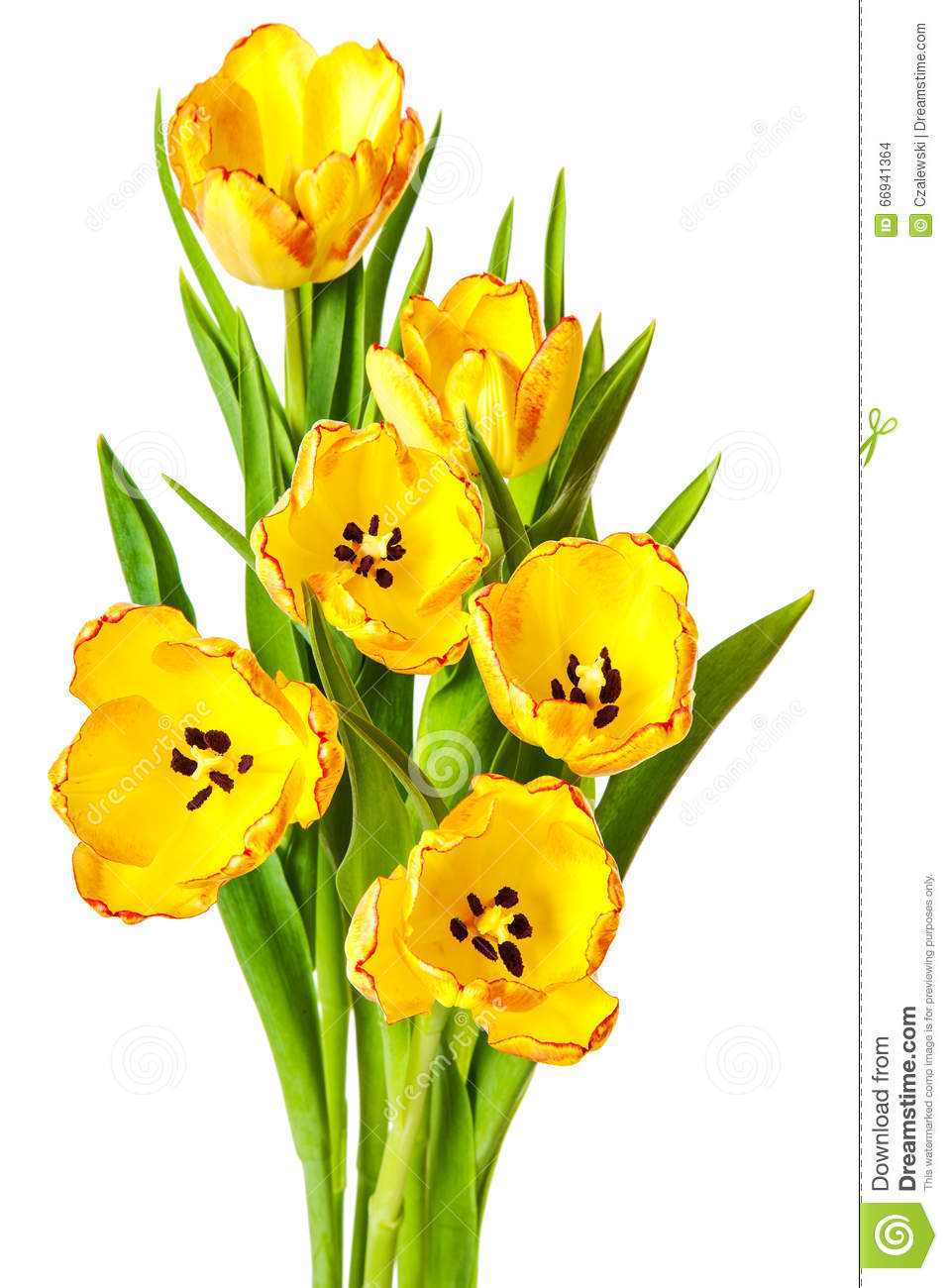 Yellow tulips bouquet tulip flowers isolated stock photo image of yellow tulips bouquet tulip flowers isolated mightylinksfo