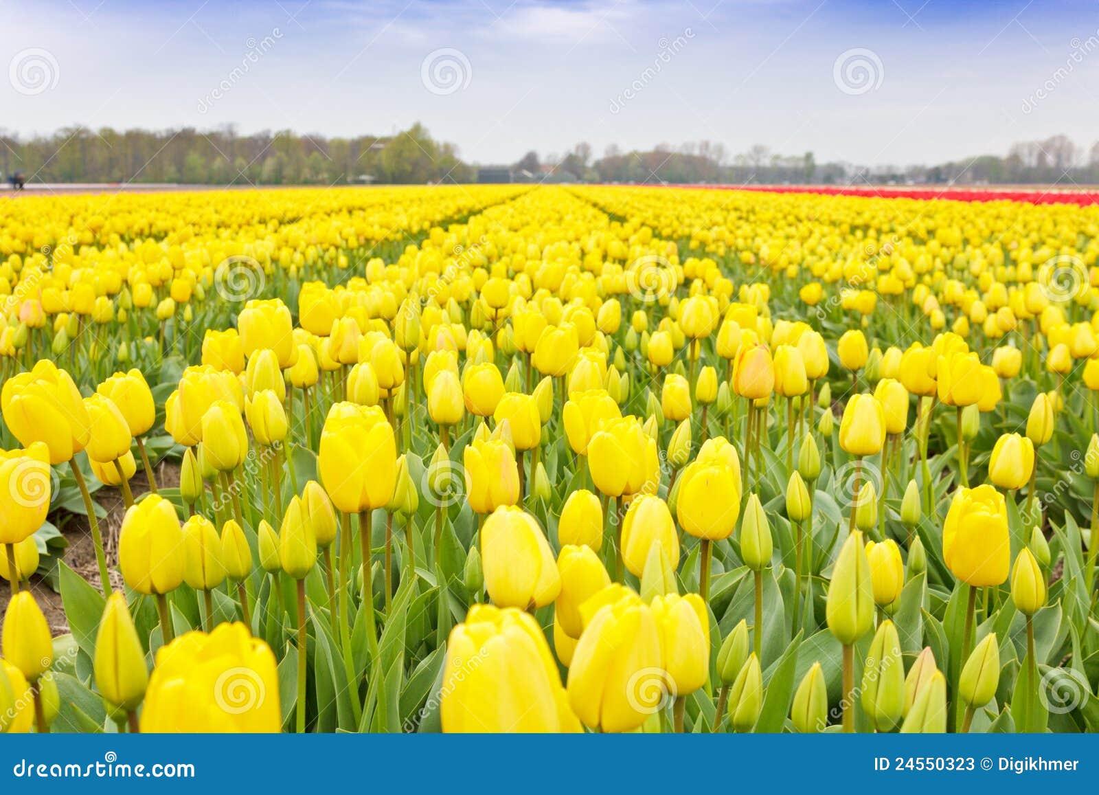 Yellow Tulips Bulb Field Stock Image Image Of Sunny 24550323