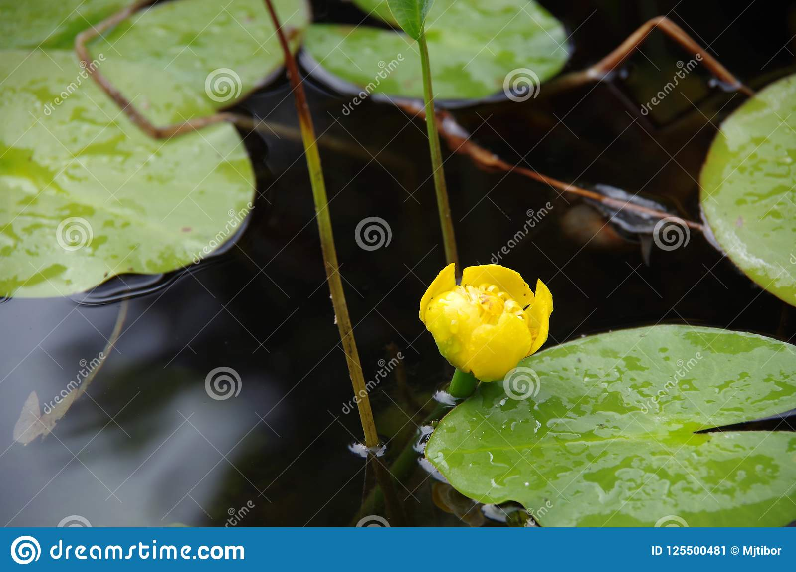 A Different Kind Of Lily Stock Image Image Of Light 125500481