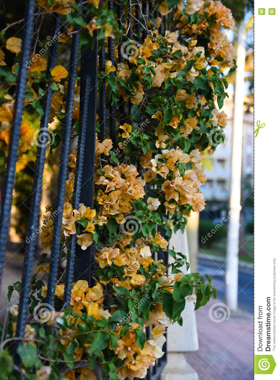 Yellow Vine Flowers With Green Leaves On Wrought Iron Railings Stock