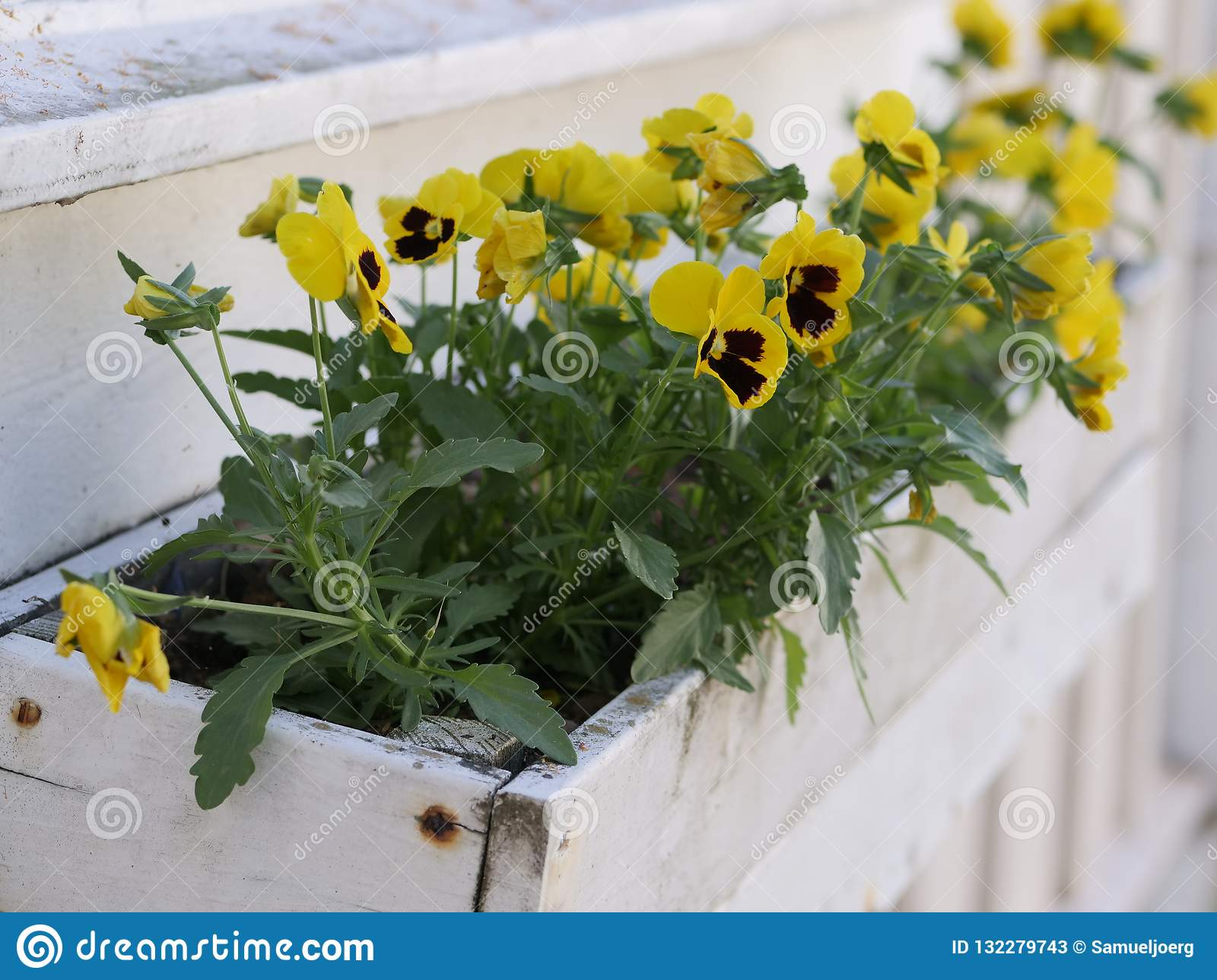 Yellow violas in a white flowerpot