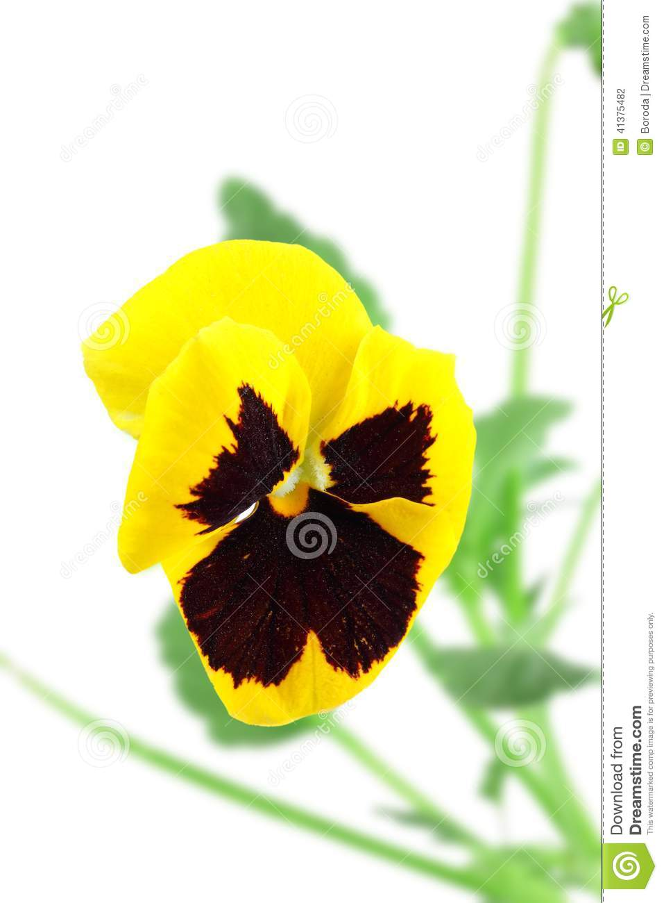 Yellow-violet pansy flower