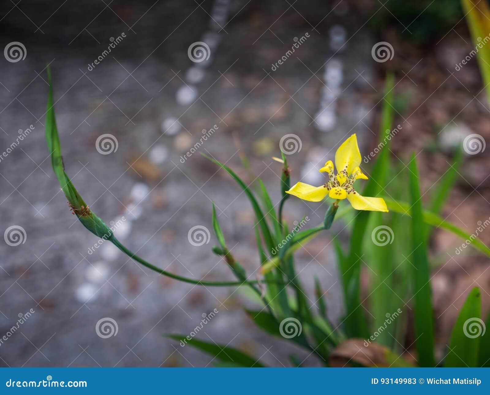 Yellow walking iris flower stock image image of closeup 93149983 download yellow walking iris flower stock image image of closeup 93149983 izmirmasajfo