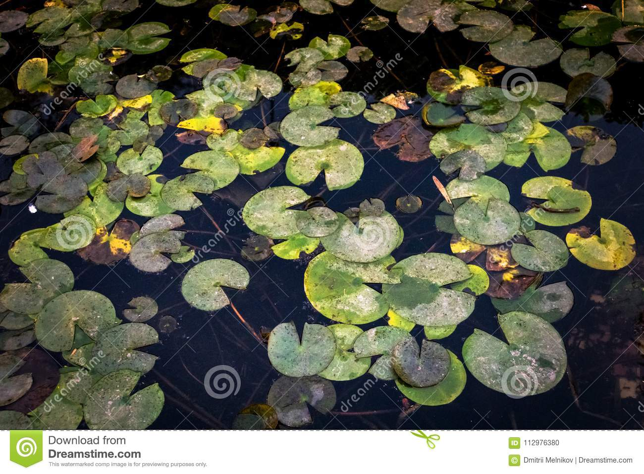 Yellow water flowers Nuphar Lutea