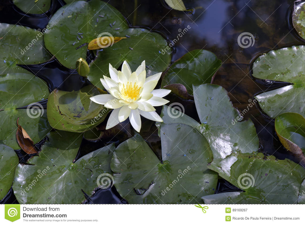 Yellow Water Lily On The Dark Of The Lake Stock Image Image Of