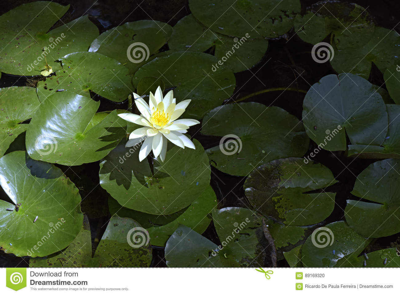Yellow Water Lily On The Dark Of The Lake Stock Photo Image Of