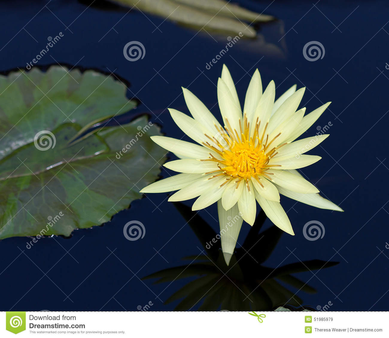 Yellow Water Lily Flower Stock Image Image Of Lake Fresh 51985979
