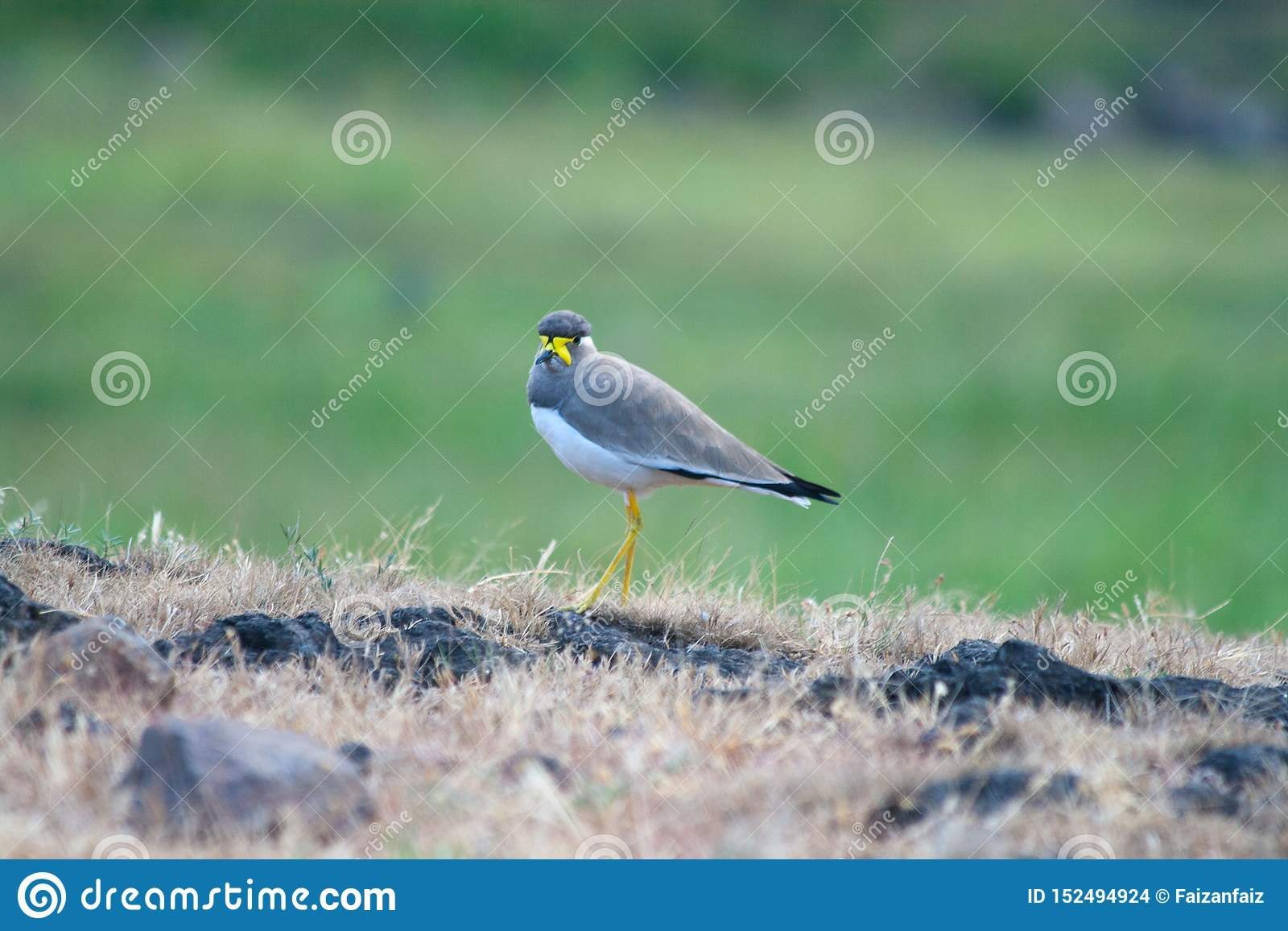 A yellow wattled lapwing in the grassland