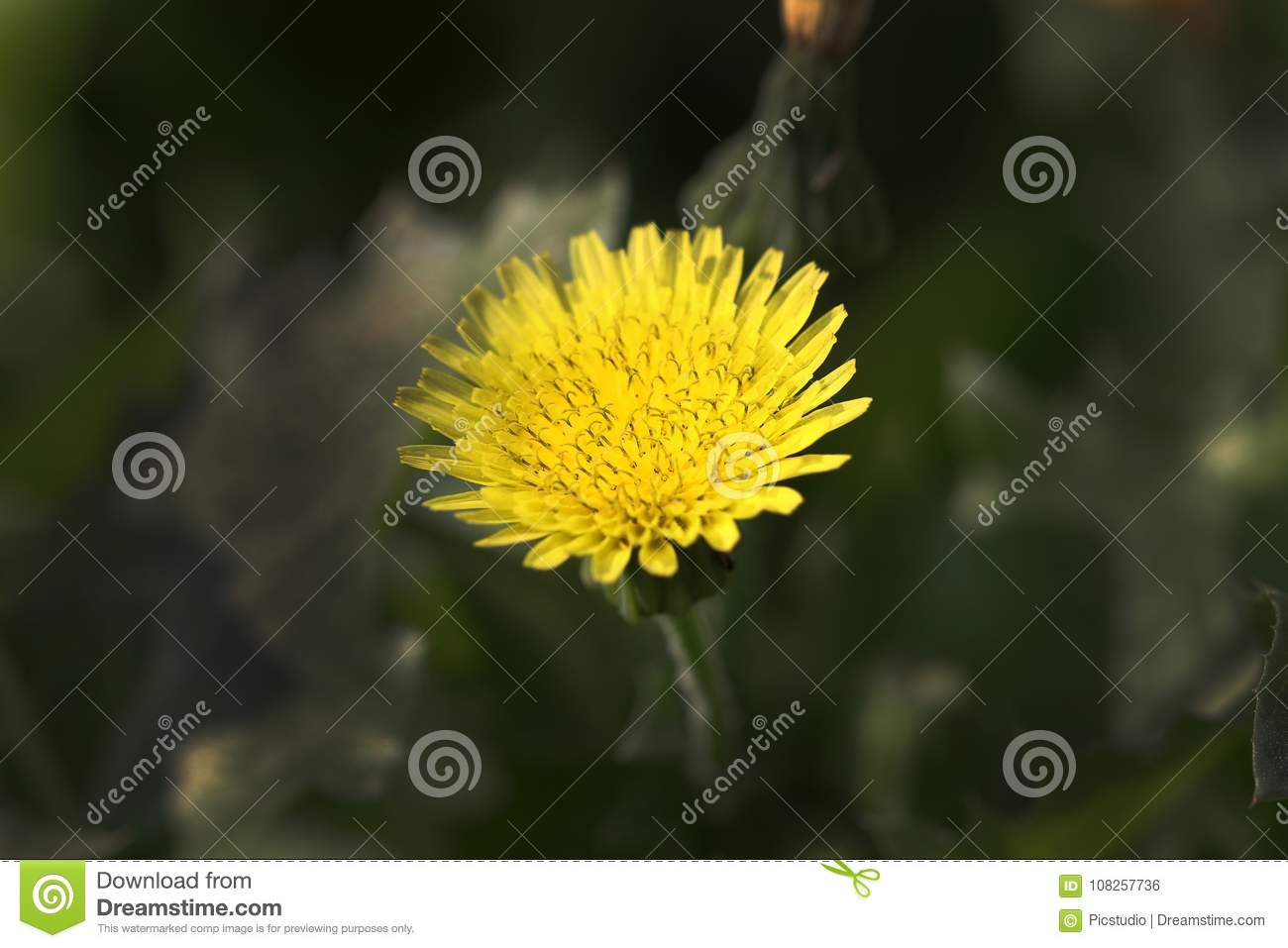 Yellow Weed Flower Stock Photo Image Of Nature Weed 108257736