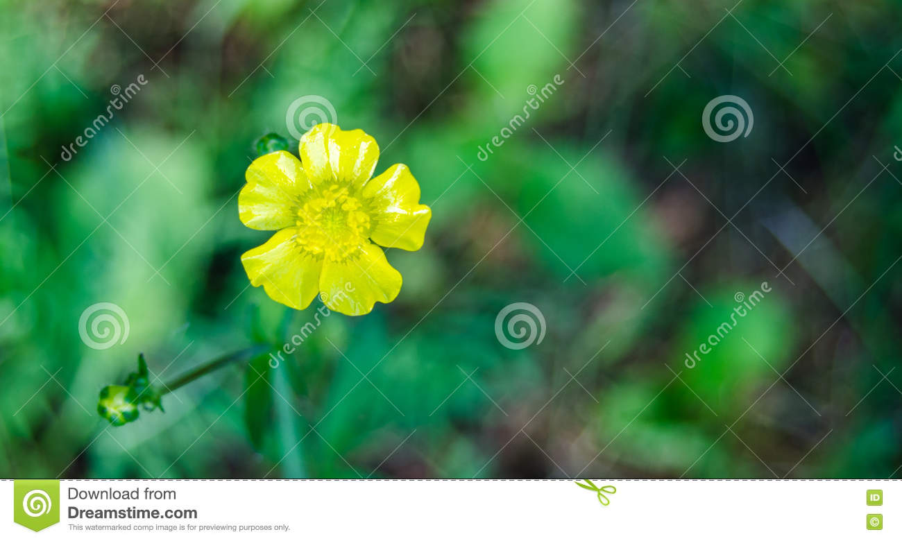 Yellow Weed Flower Buttercup Close Up In Sunlit Morning Field