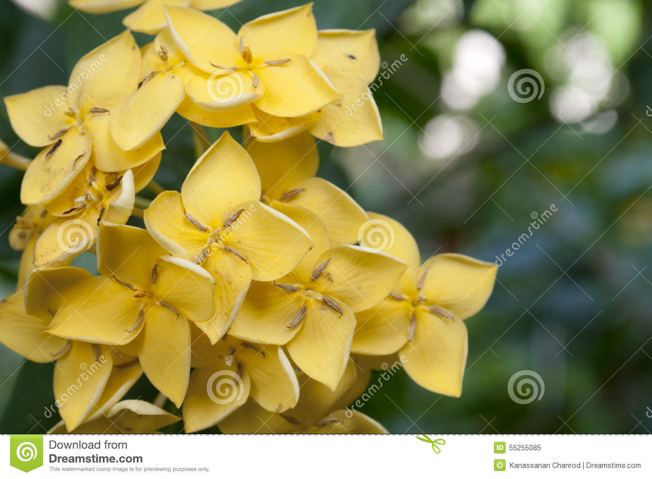 Yellow west indian jasmine stock image image of yellow 55255085 yellow west indian jasmine flowers with its leaves on its plant izmirmasajfo