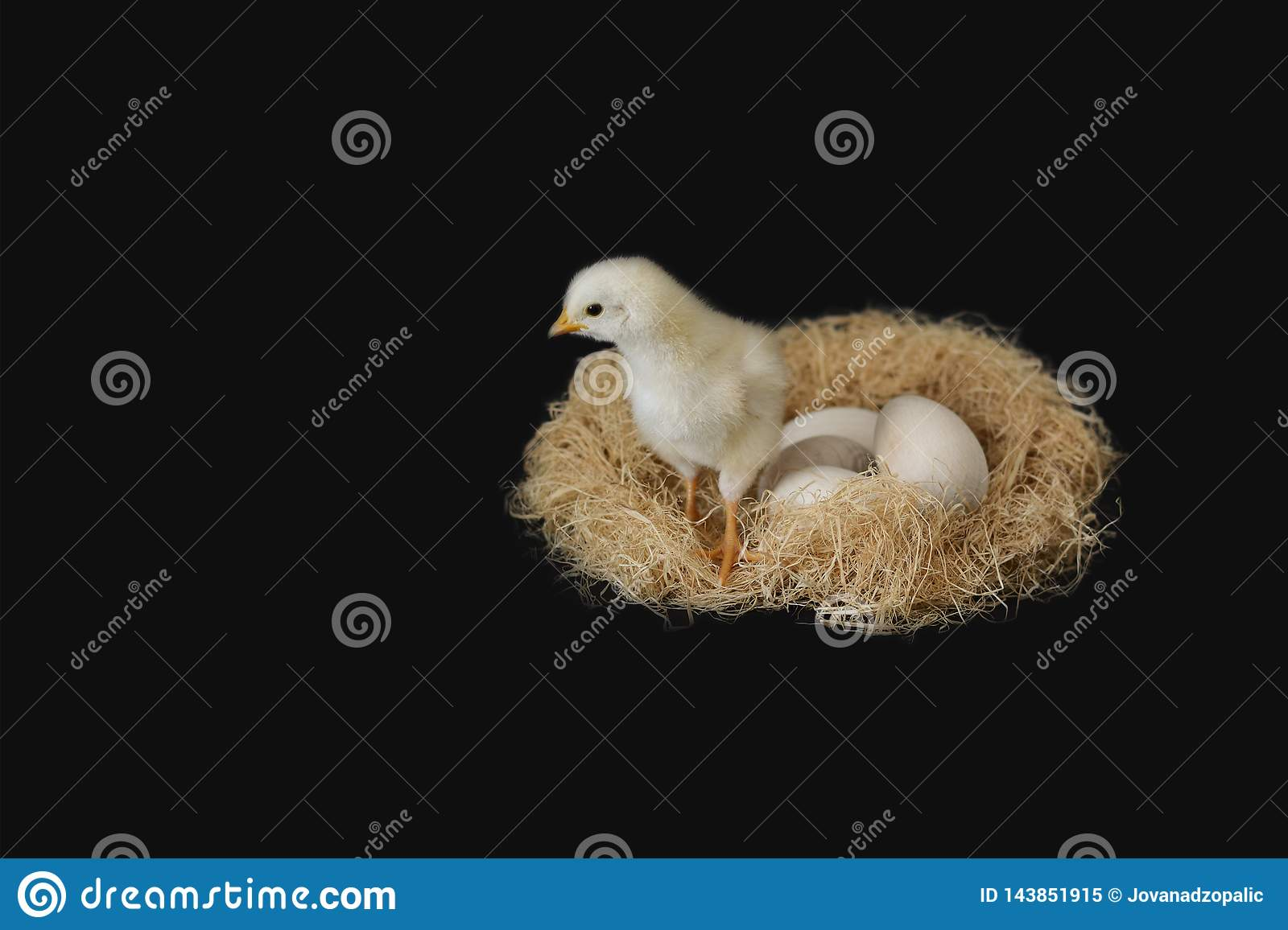 Yellow, white chicken in a nest with five eggs on a black background.
