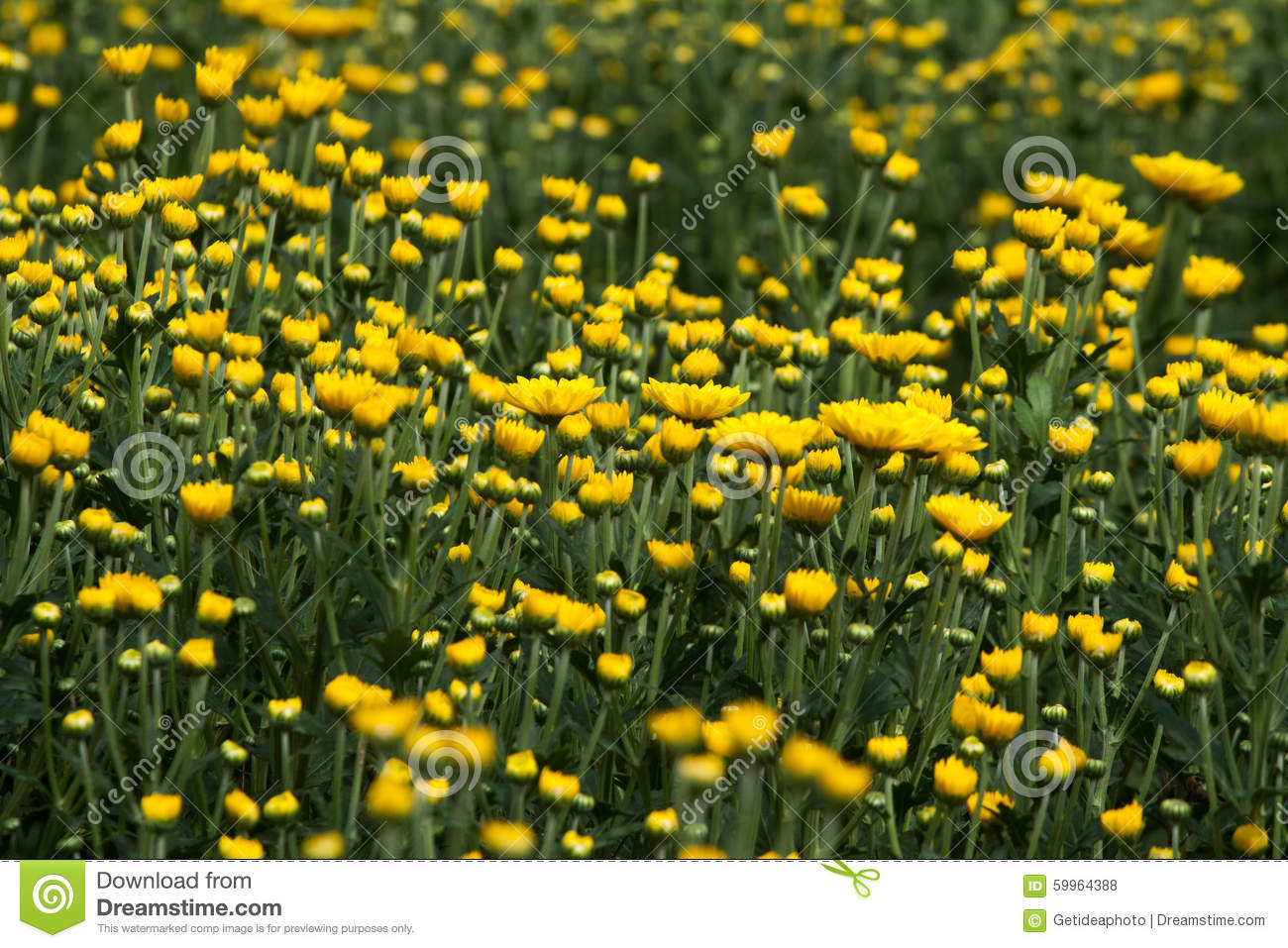 Yellow And White Flowers Stock Photo Image Of Abstract 59964388