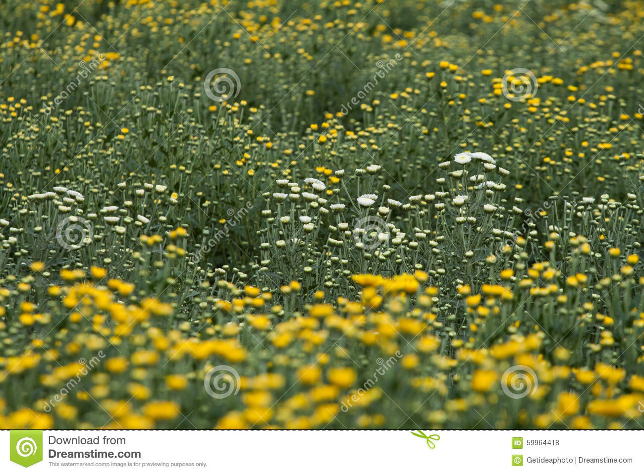 Yellow And White Flowers Stock Photo Image Of Energy 59964418