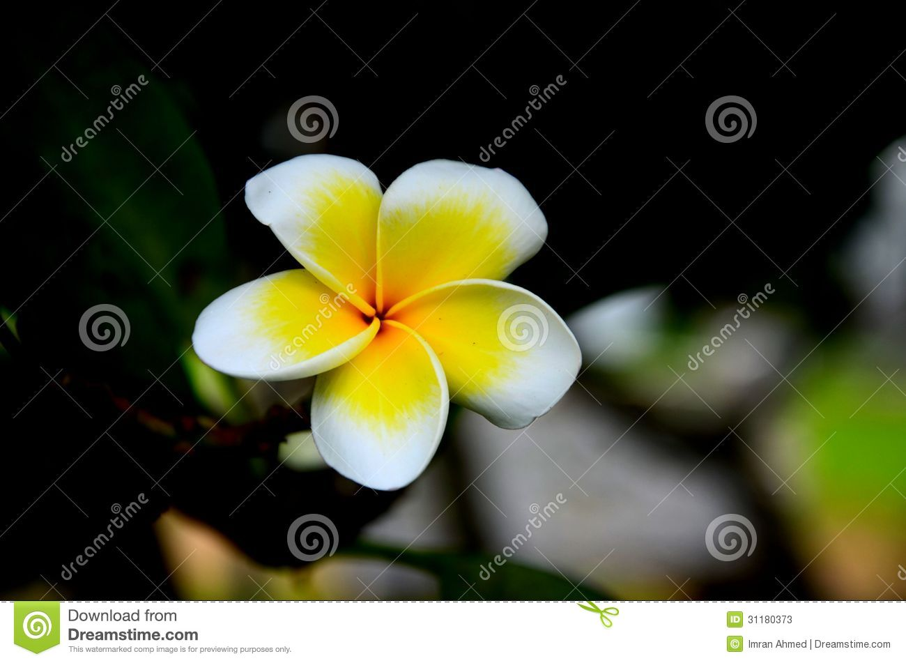 Yellow And White Frangipani Flower Stock Image Image Of Romantic