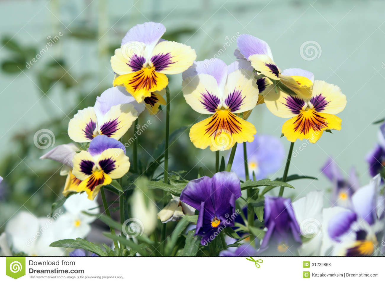 Yellow and white pansies stock photo image of pansies 31229868 yellow and white pansies large flowered hybrid plants cultivated as garden flowers mightylinksfo