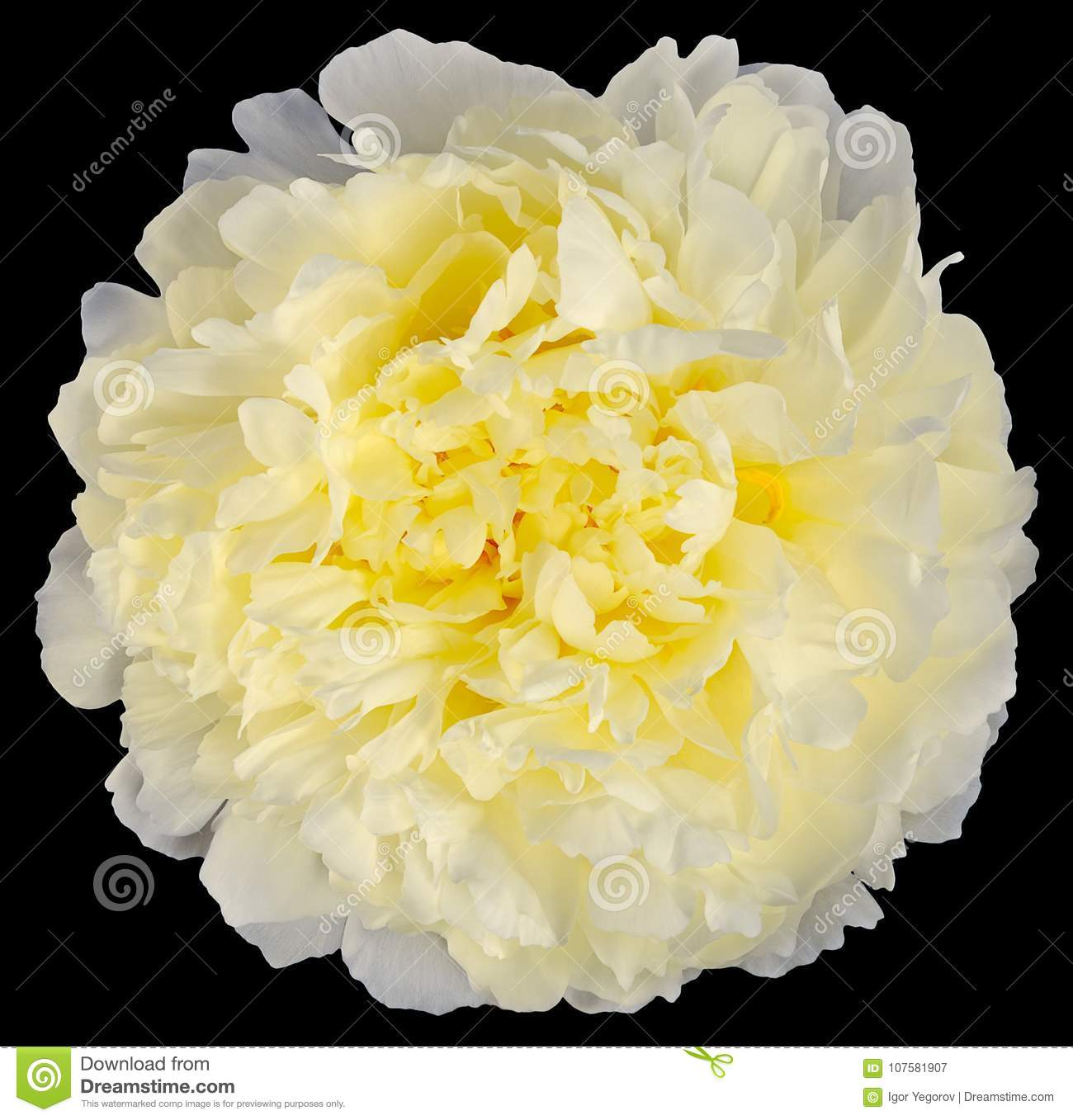 Yellow White Peony Flower Isolated Stock Image Image Of Color