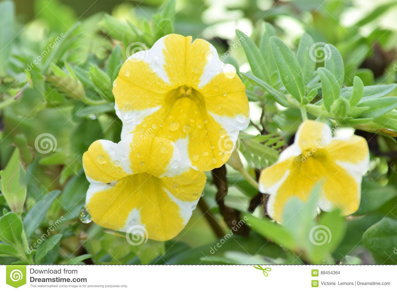 Yellow And White Petunia Flowers Growing Stock Photo Image Of