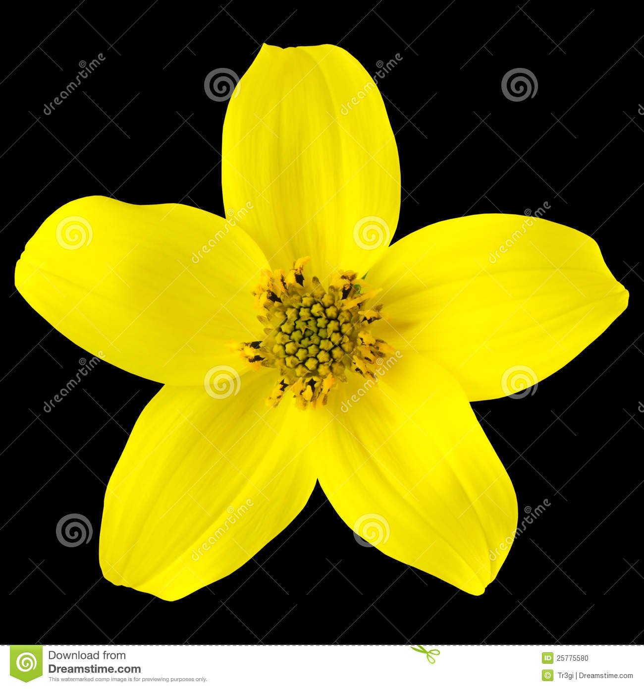 Yellow Wild Flower With Five Petals Isolated Stock Photo Image Of