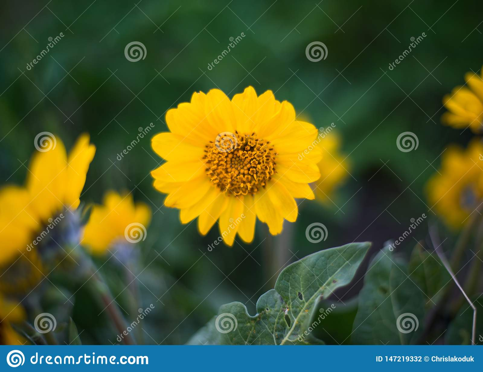 Yellow Wild Flower With Green Foliage