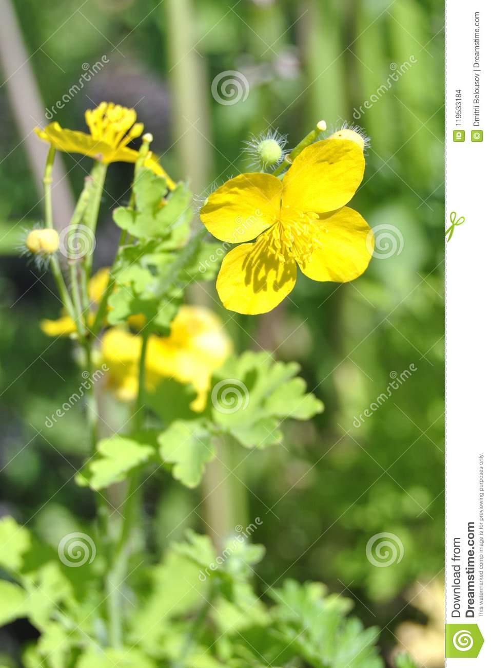 Yellow wildflowers close-up