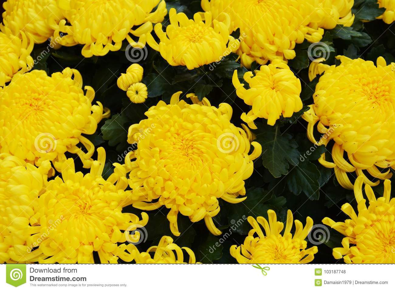 Yellow Winter Flowers Natural Background Gardens Stock Photo
