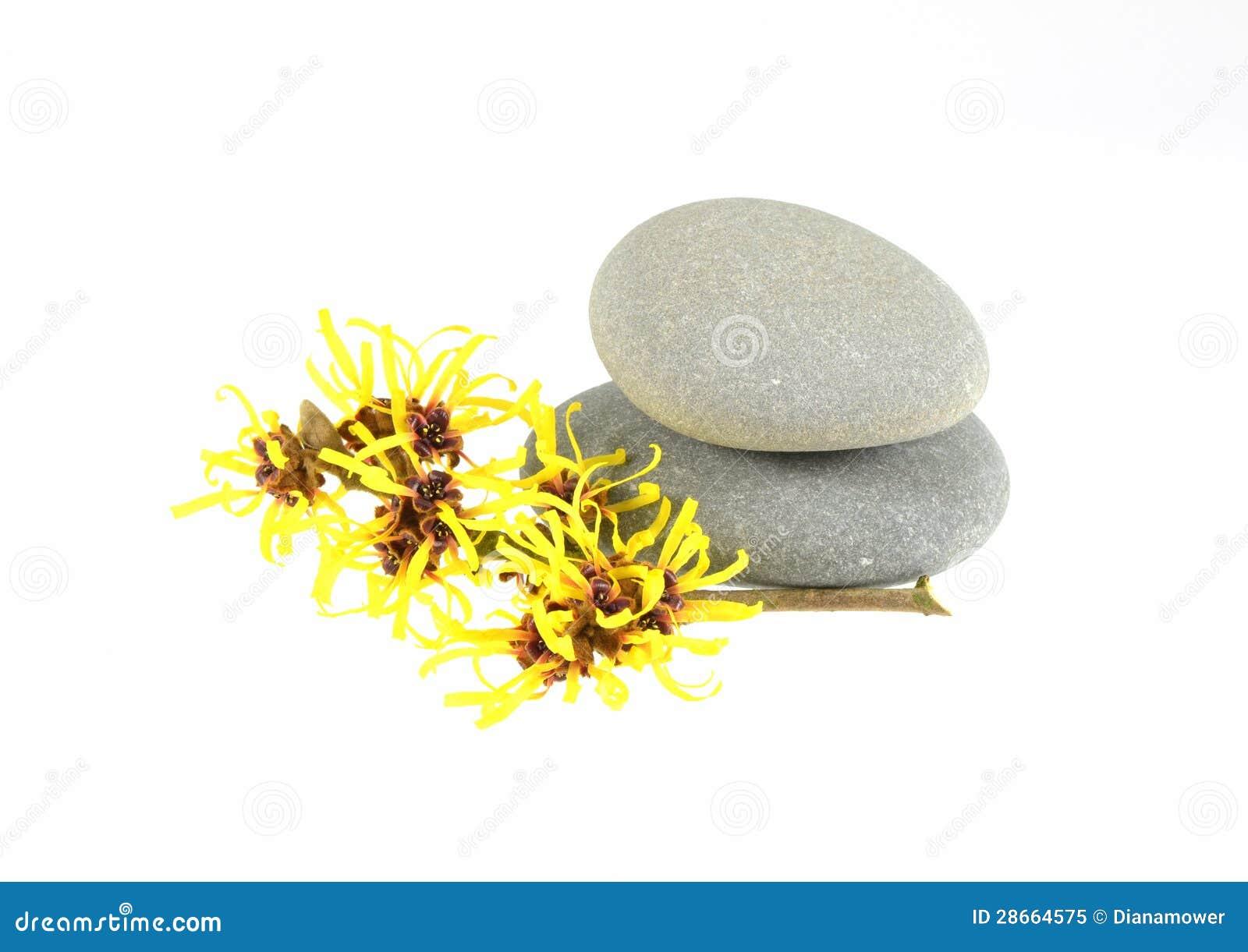 Yellow Witch Hazel
