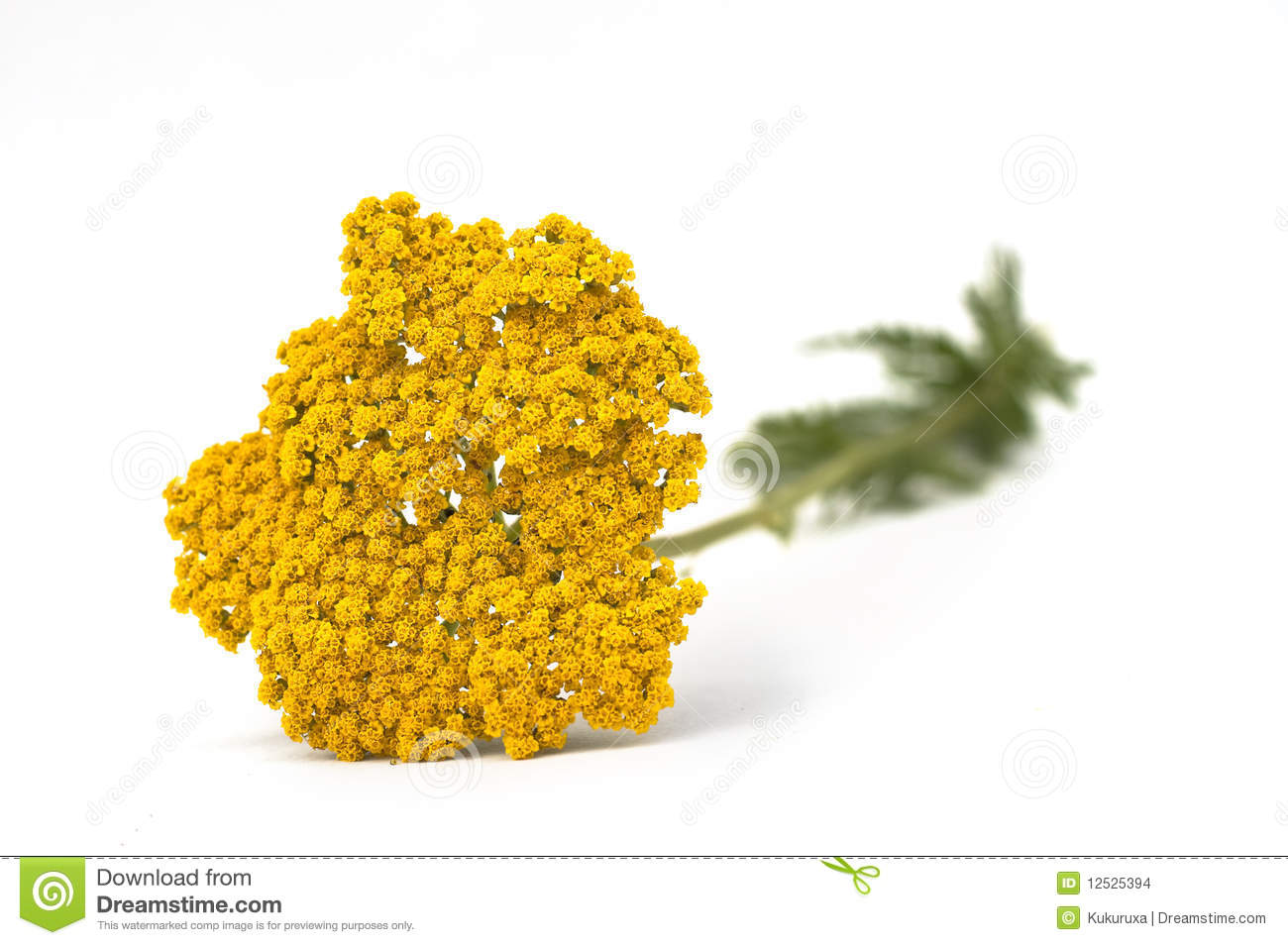 yellow yarrow isolated on white stock photo image 12525394. Black Bedroom Furniture Sets. Home Design Ideas