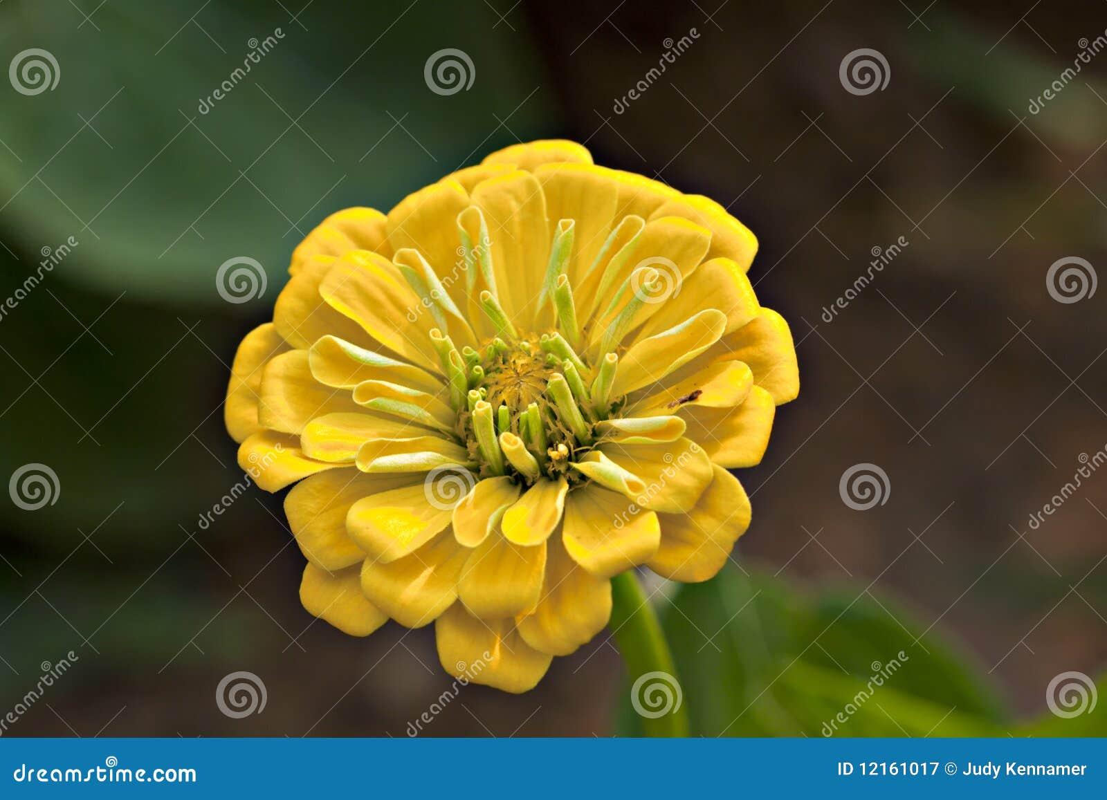 Yellow zinnia flower stock image image of beautiful 12161017 download comp mightylinksfo