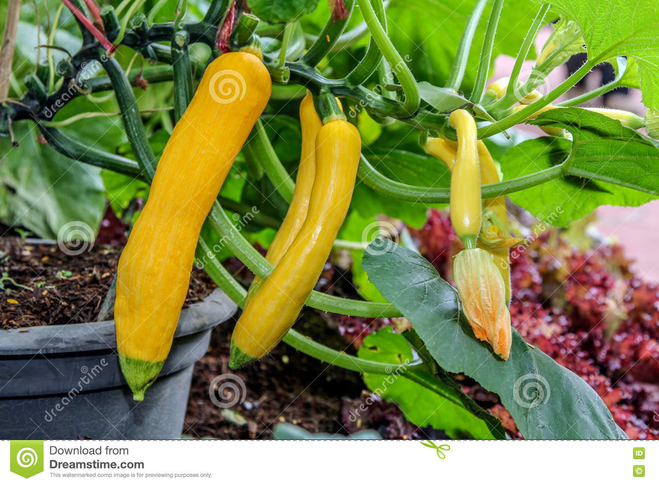 zucchini flower on the fruit at a plant in the vegetable garden stock photography. Black Bedroom Furniture Sets. Home Design Ideas