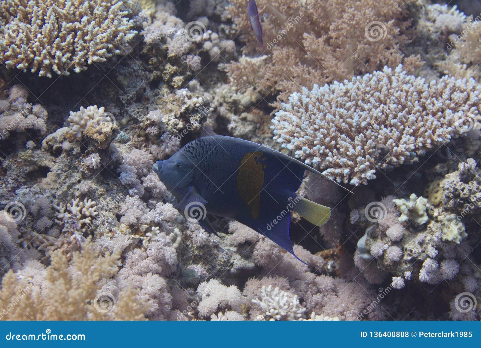 Yellowbar Angelfish in Red Sea