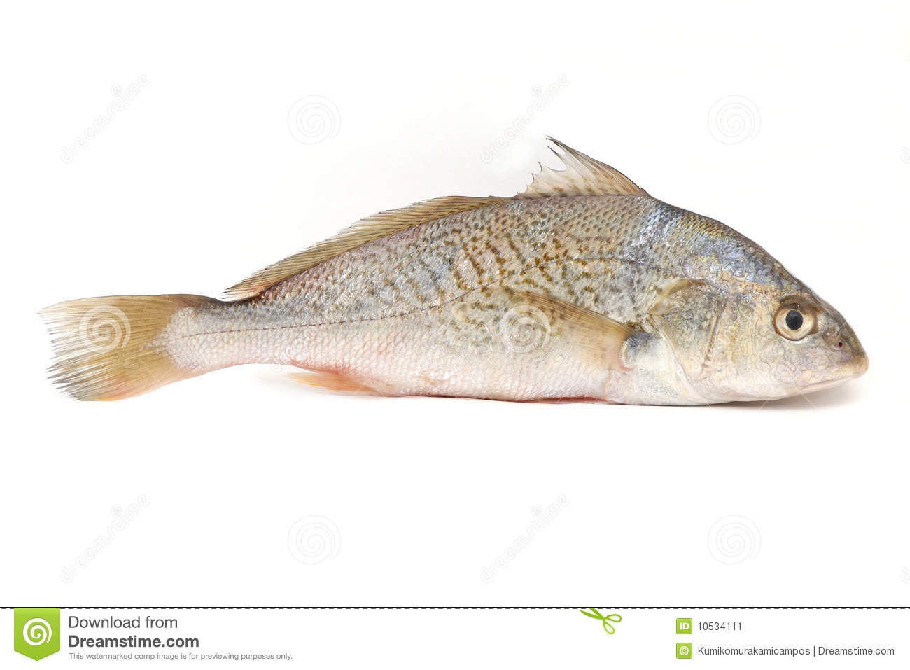 Yellowfin croaker stock image image 10534111 for What is a croaker fish