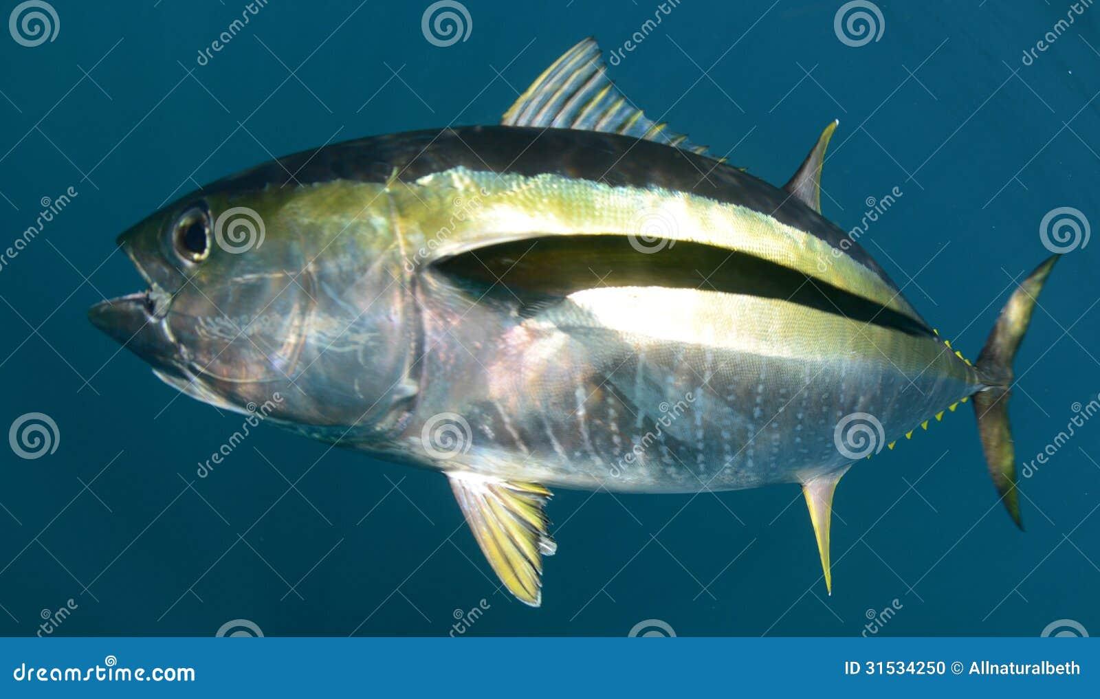 Yellowfin tuna fish underwater in ocean