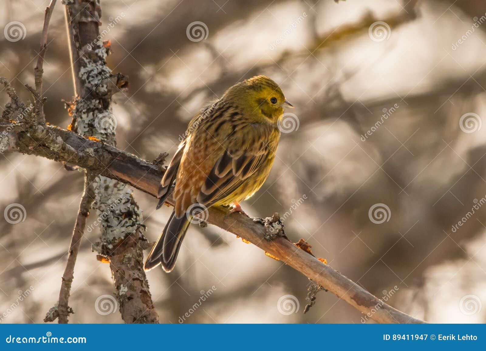 Yellowhammer que senta-se em uma árvore de maçã