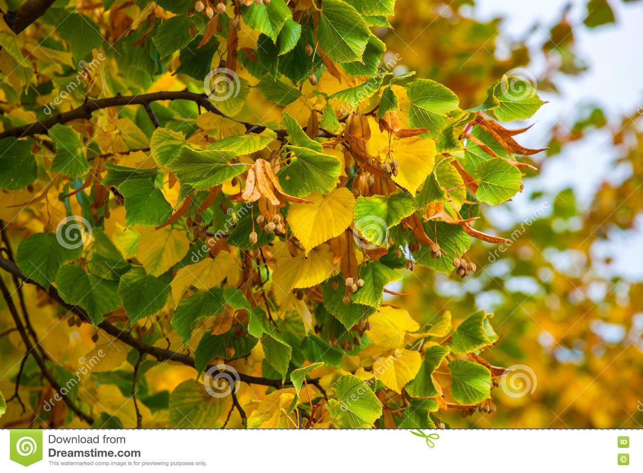 Yellowing Leaves On The Branches Of A Linden Tree On Blue Sky. Stock ...
