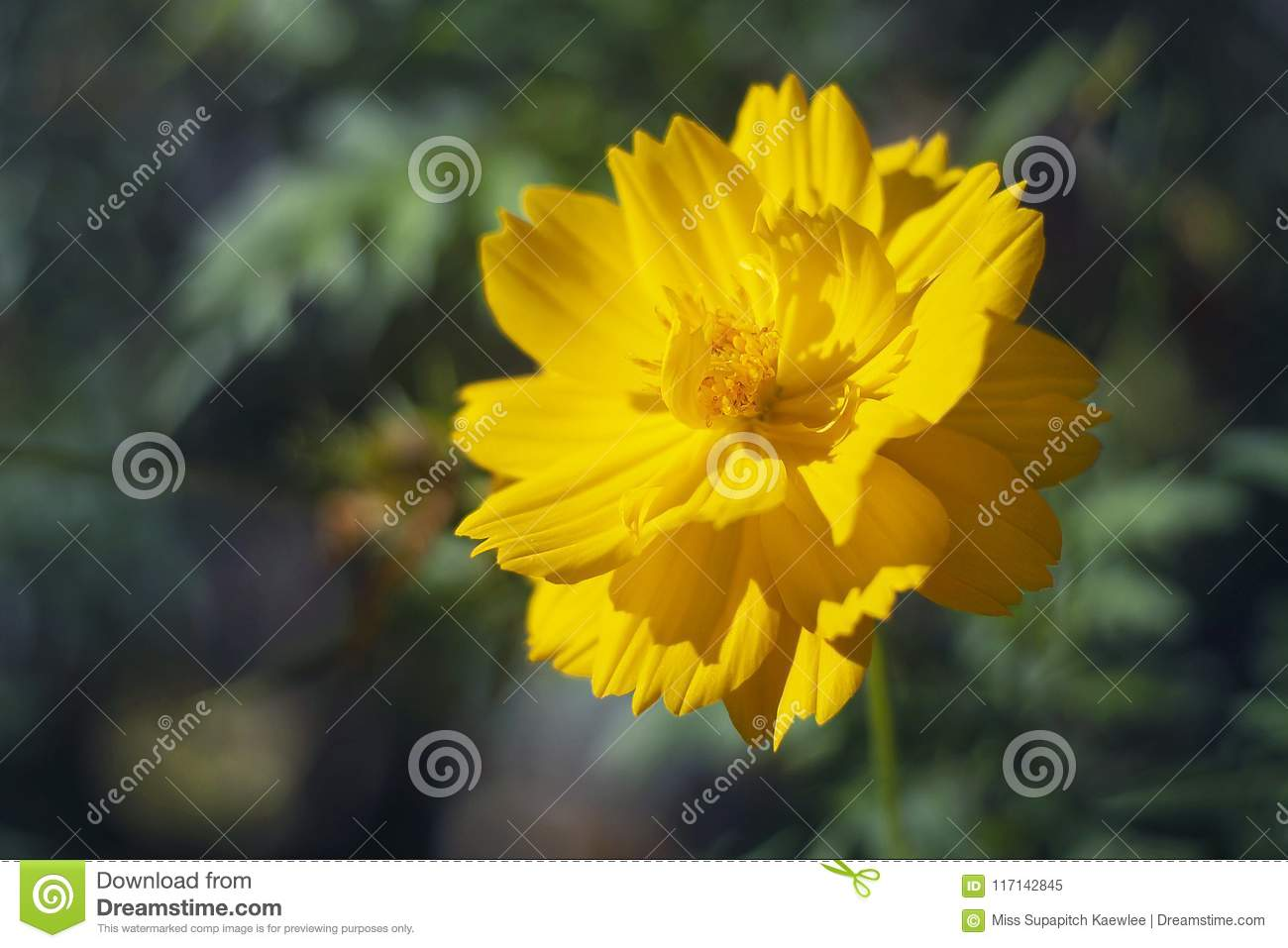 A yellowish tropical flower in the morning