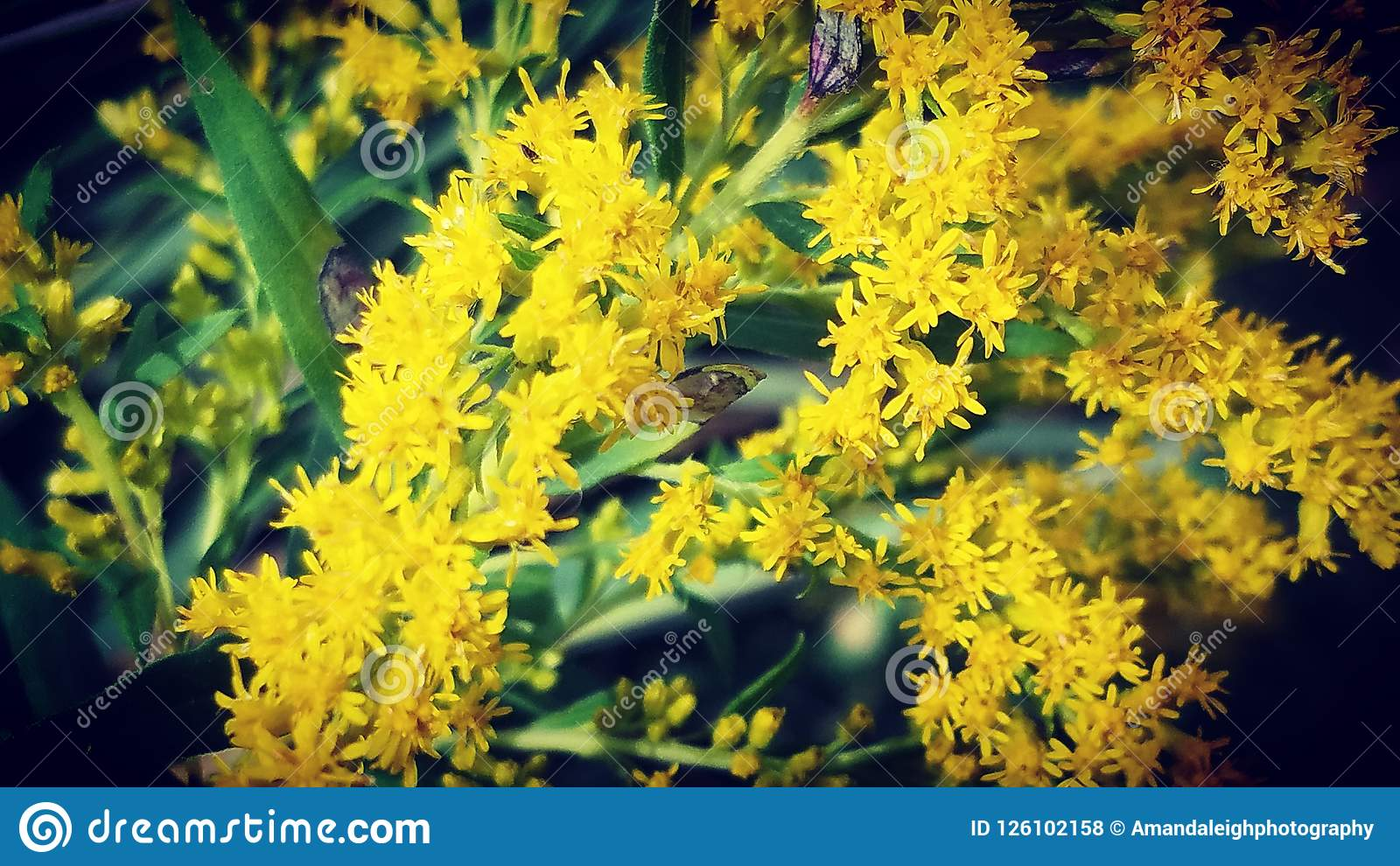 Yellows Stock Photo Image Of Flowers Yellow Yellows 126102158
