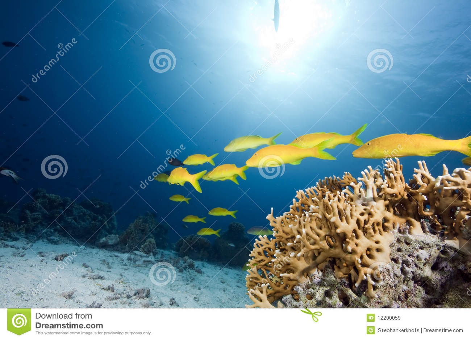 Yellowsaddle Goatfish, Ozean und Koralle