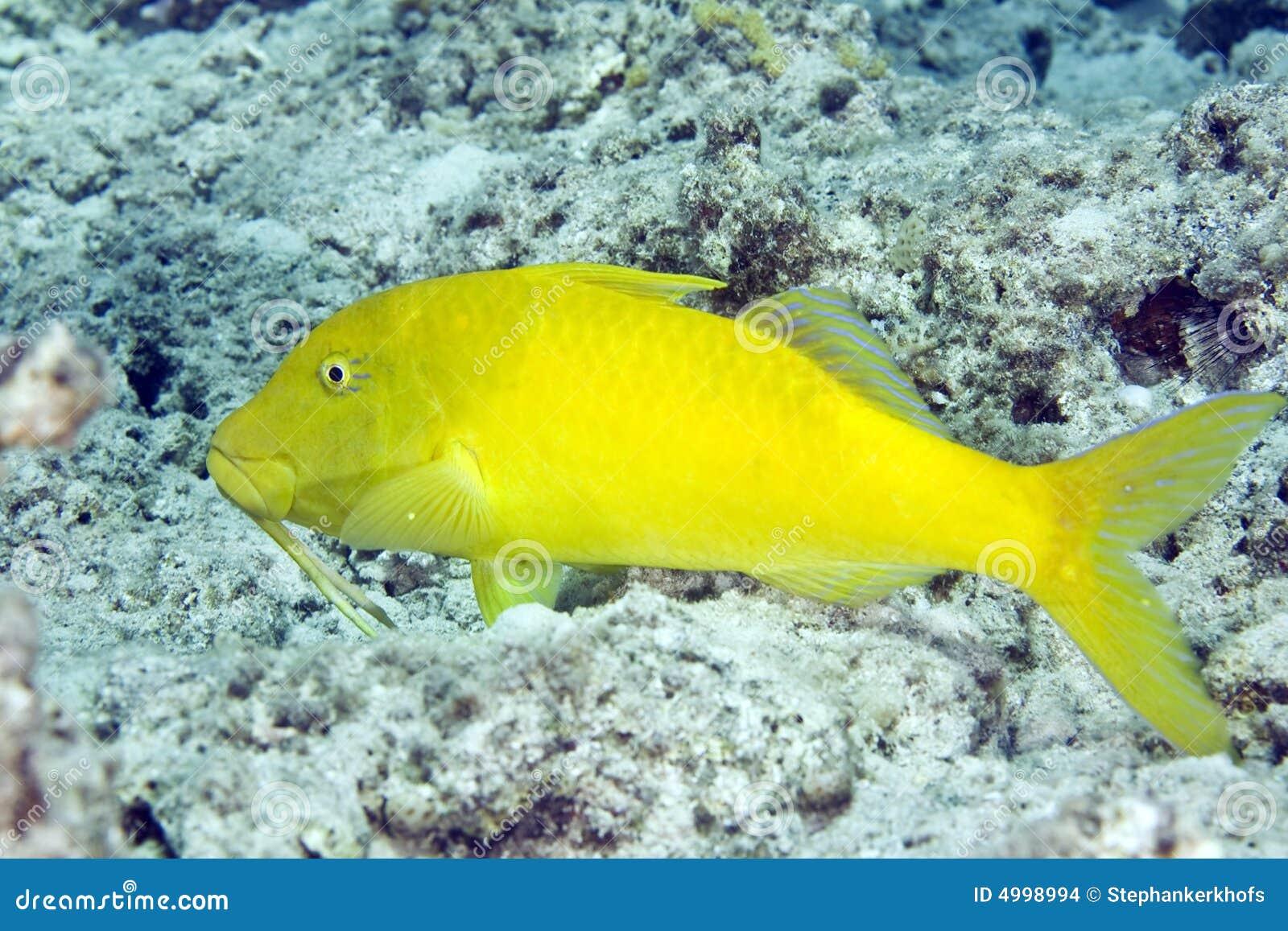 Yellowsaddle goatfish (parupeneus cyclostomus)