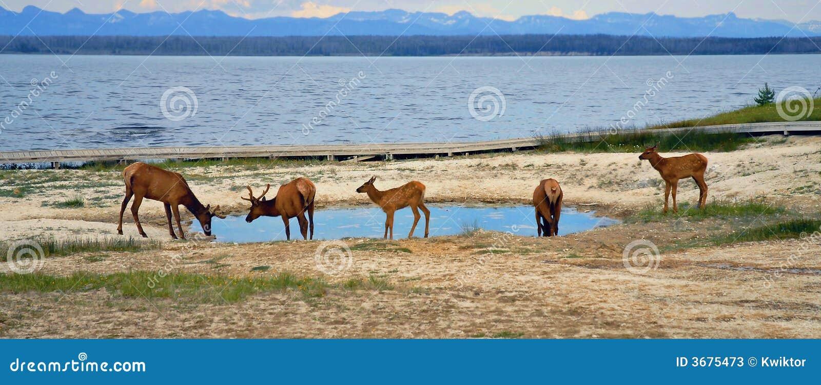 Download Yellowstone immagine stock. Immagine di wildlife, herbivore - 3675473