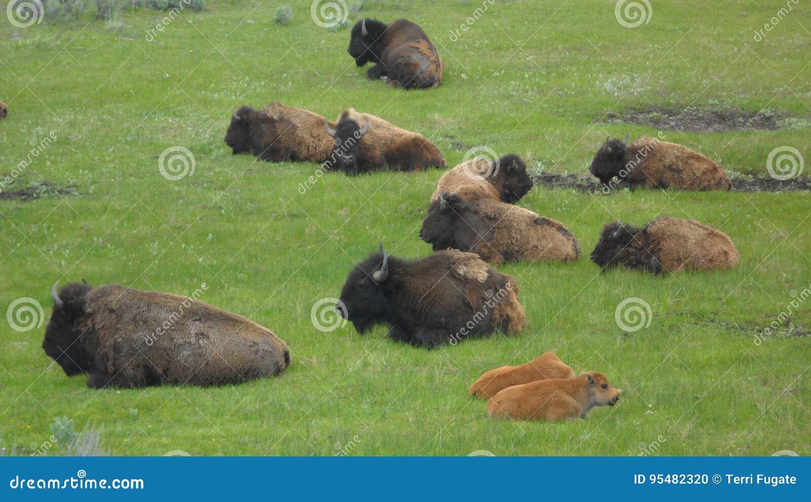 Yellowstone bizon