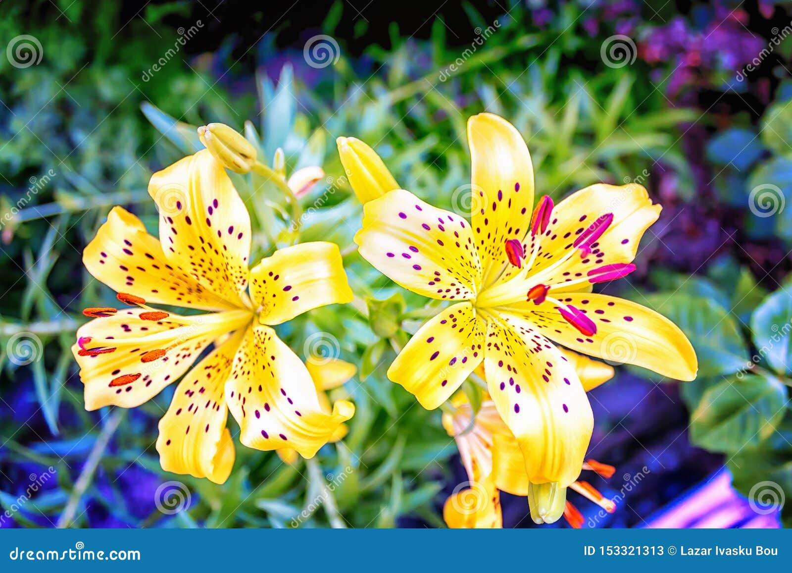 Yelow menchii kwiat zamknięty w górę