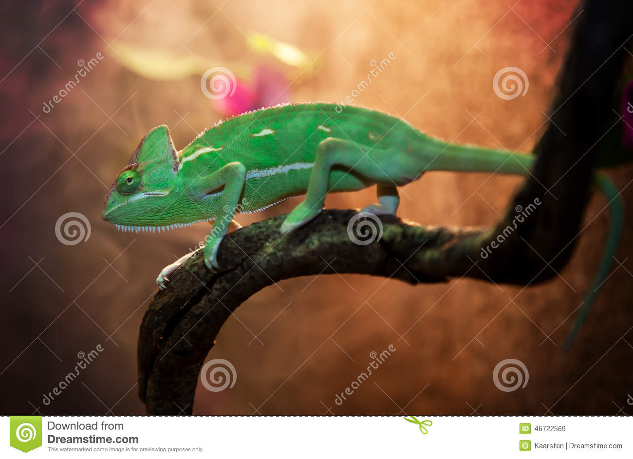 yemen chameleon in terrarium stock photo image 46722569. Black Bedroom Furniture Sets. Home Design Ideas