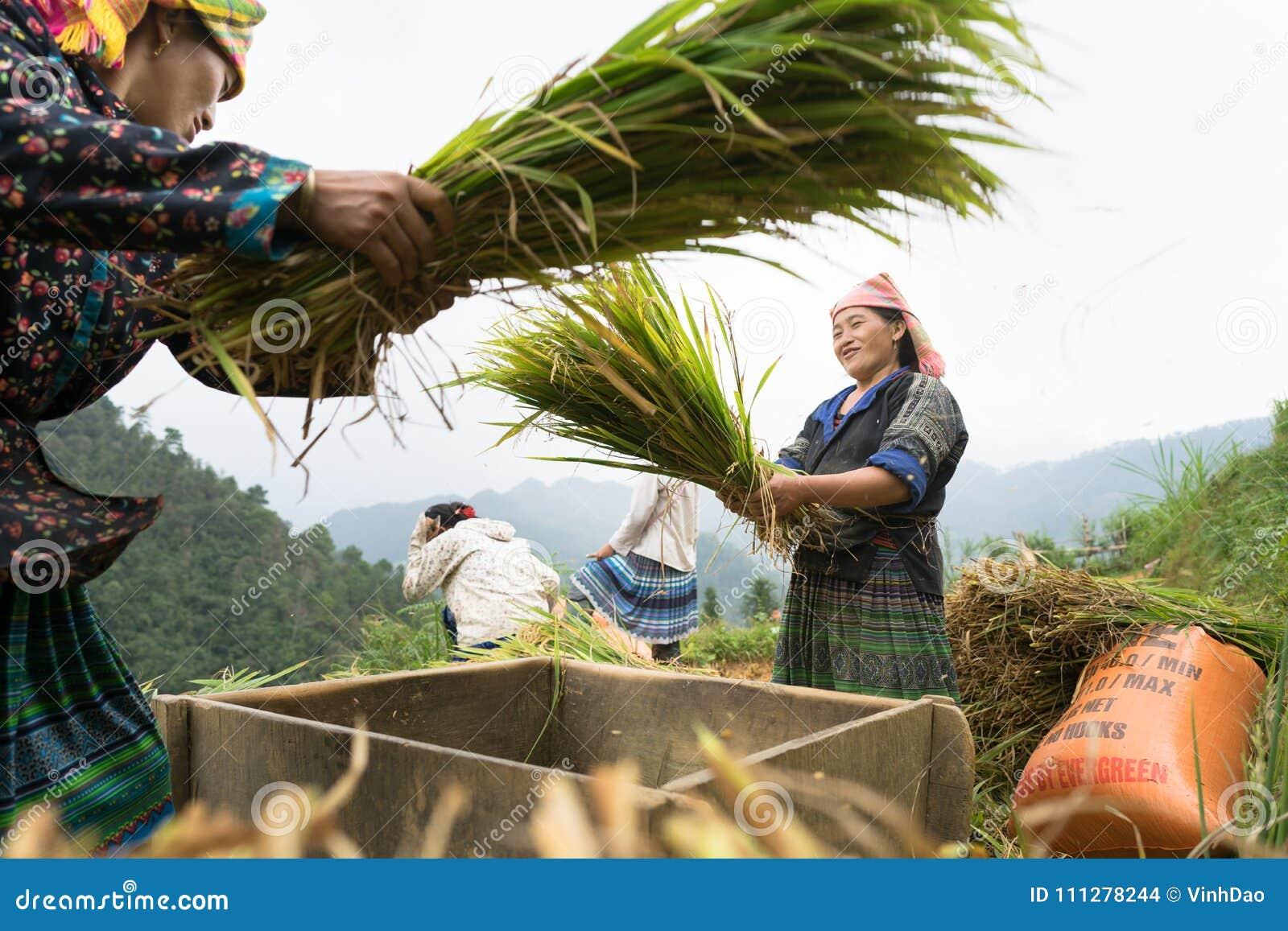 Yen Bai, Vietnam - Sep 17, 2016: Vietnamese ethnic minority woman threshing paddy on terraced field in harvesting time in Mu Cang