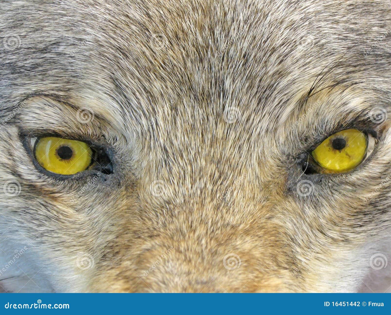 yeux jaunes de loup nature animale sauvage photographie stock image 16451442. Black Bedroom Furniture Sets. Home Design Ideas