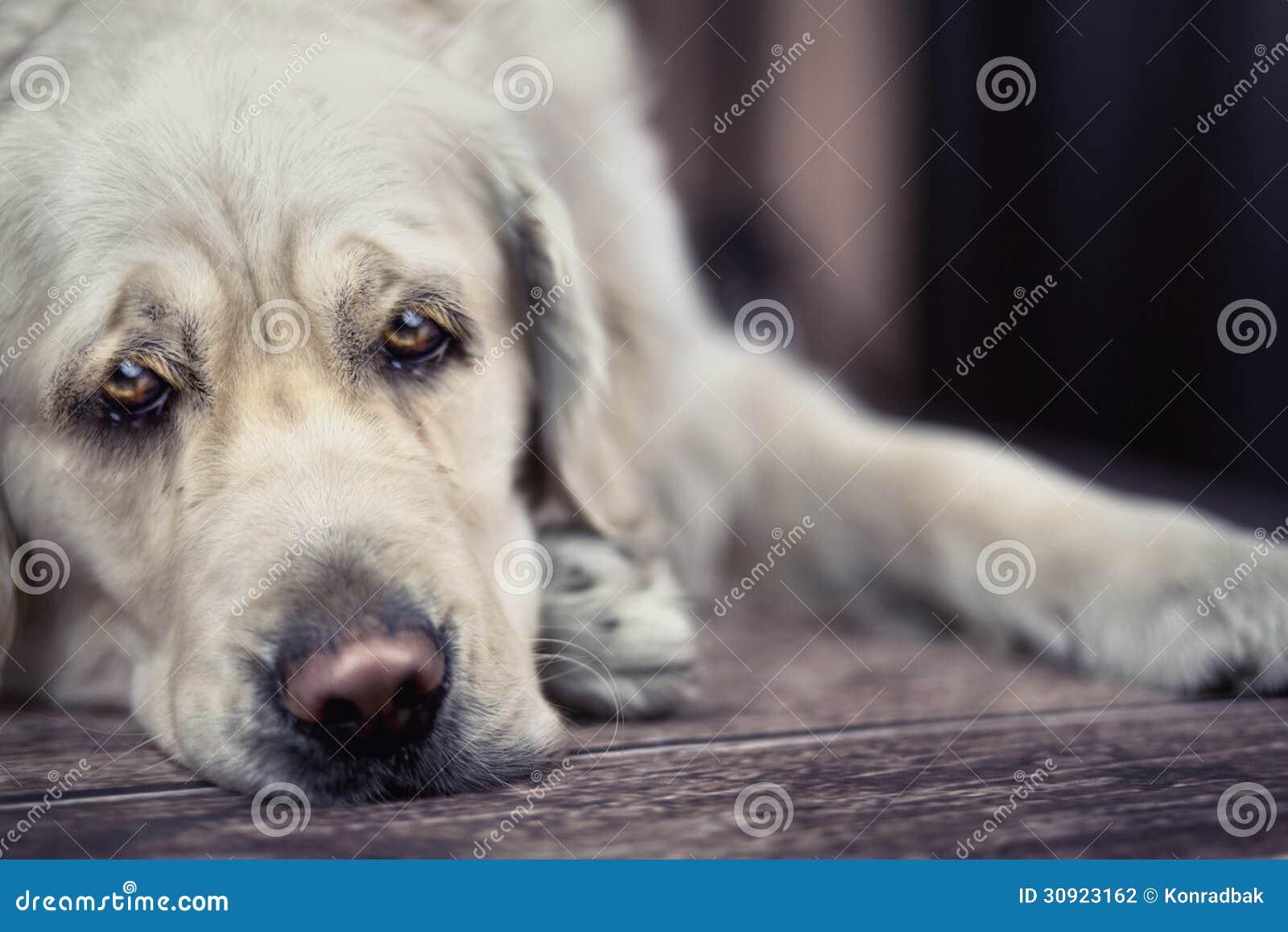 Yeux tristes de grand chien blanc