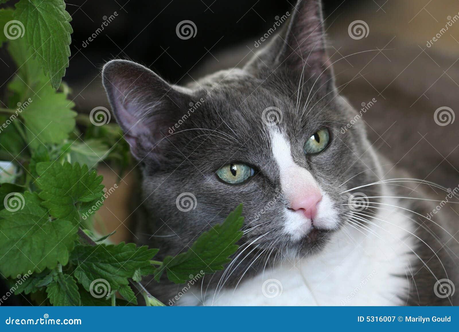 Yeux verts de chat gris image stock image du chat contenu 5316007 - Yeux vert gris ...