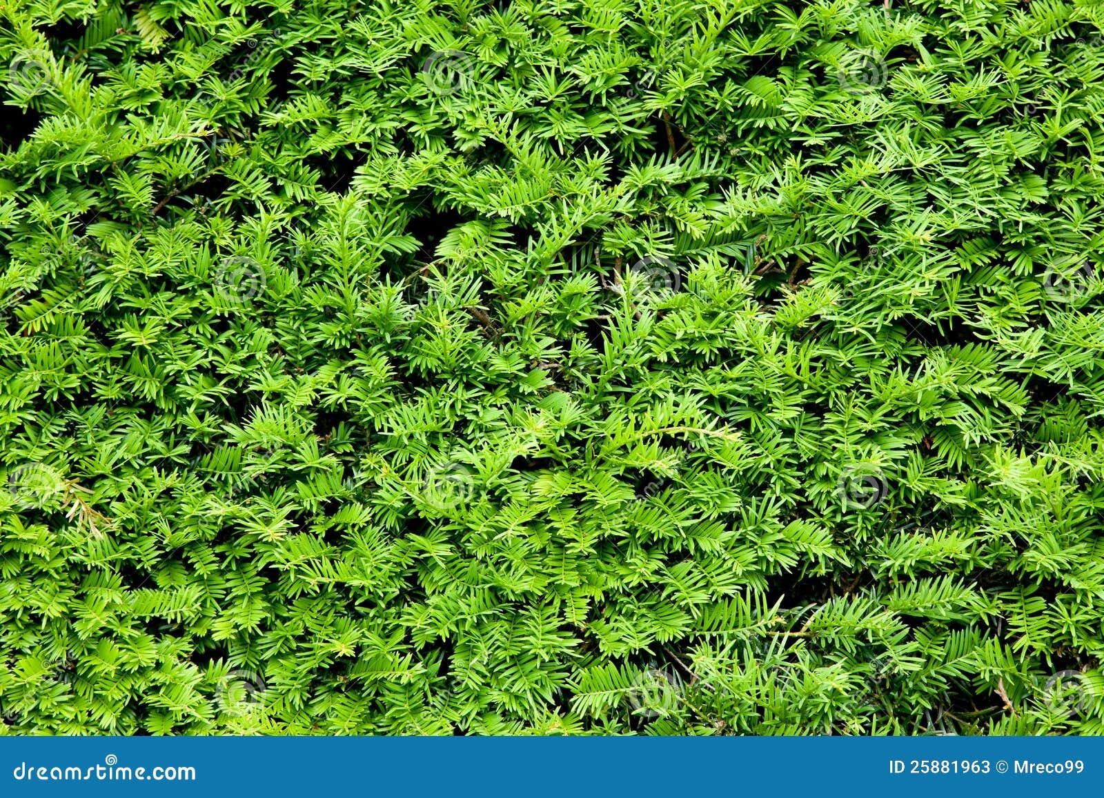Yew Bush Close Up Background Stock Image - Image: 25881963