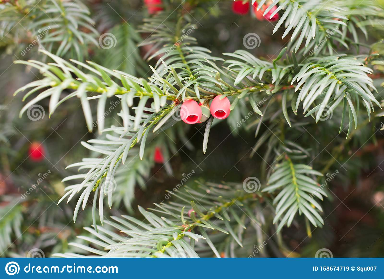 Yew Detail With Red Berries Stock Image Image Of White Taxus
